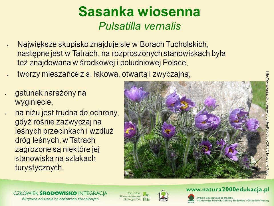 Sasanka wiosenna Pulsatilla vernalis