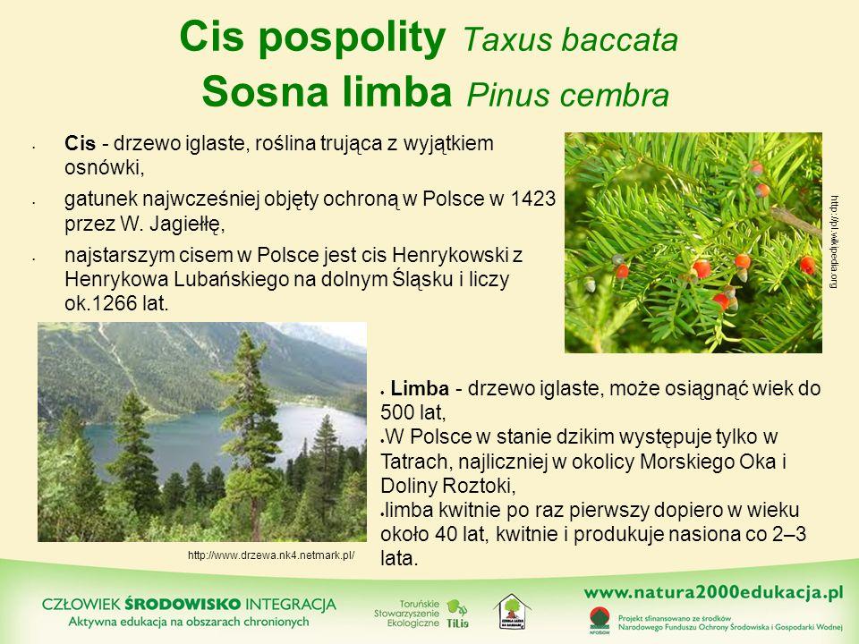 Cis pospolity Taxus baccata Sosna limba Pinus cembra