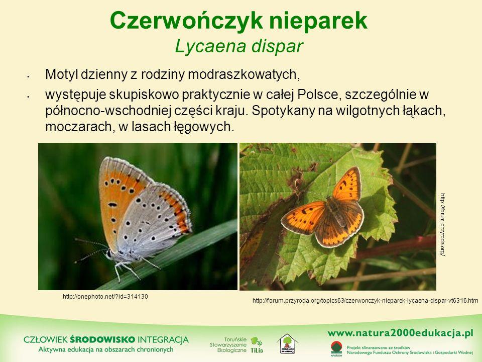 Czerwończyk nieparek Lycaena dispar