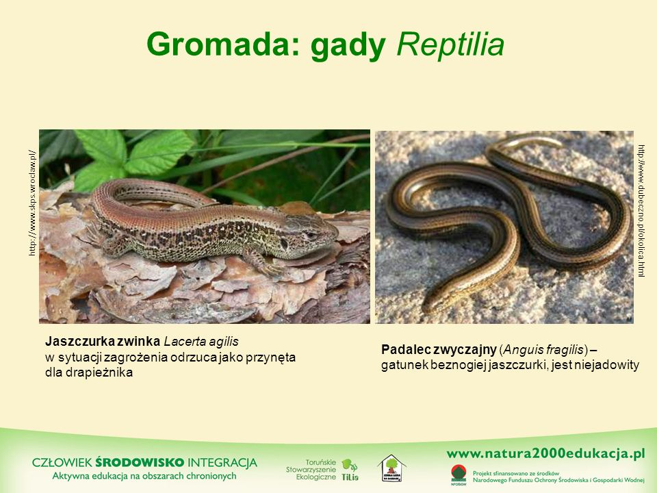 Gromada: gady Reptilia