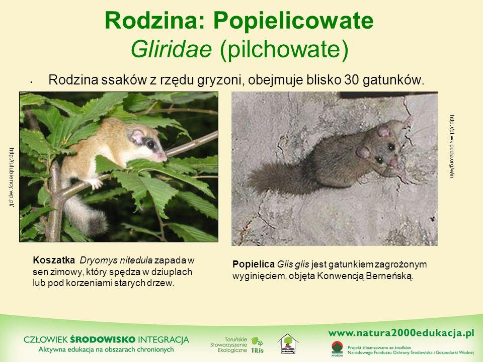 Rodzina: Popielicowate Gliridae (pilchowate)