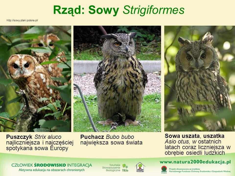 Rząd: Sowy Strigiformes