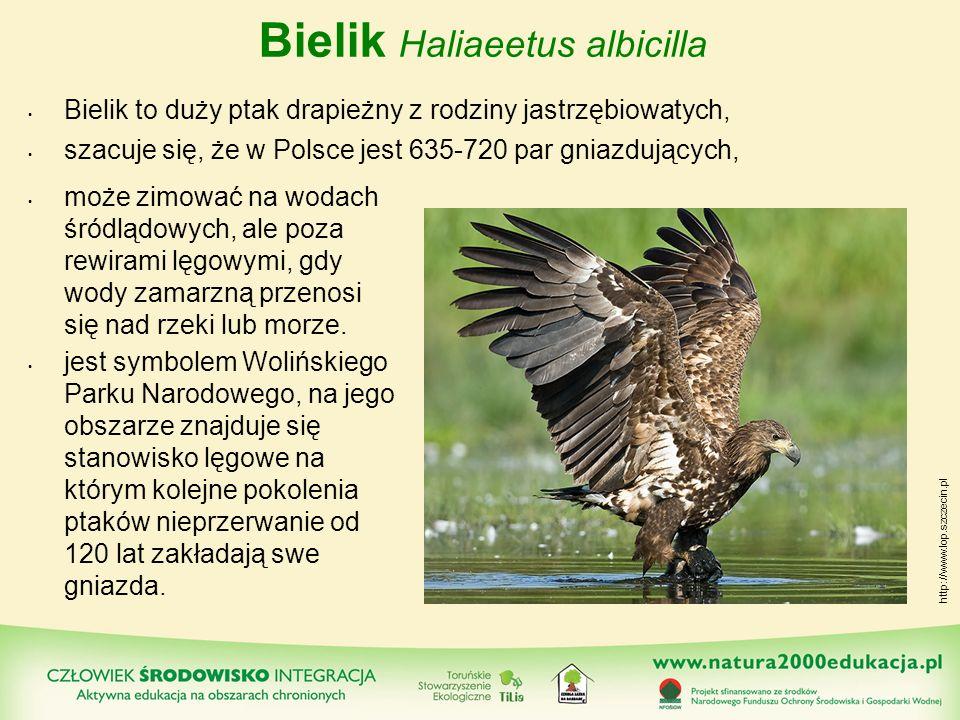 Bielik Haliaeetus albicilla