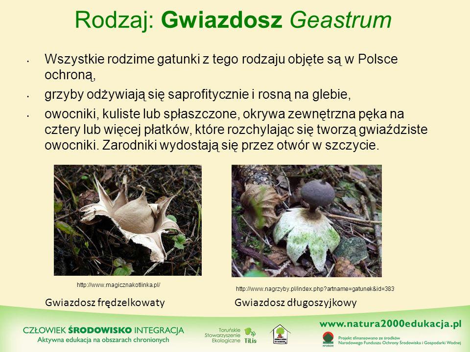 Rodzaj: Gwiazdosz Geastrum