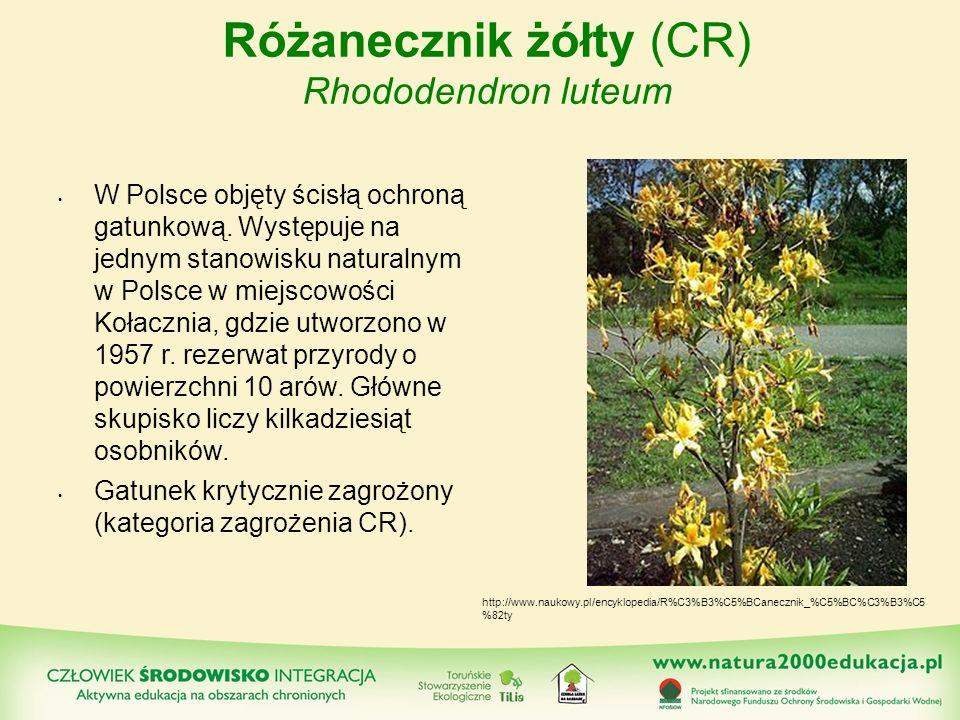 Różanecznik żółty (CR) Rhododendron luteum