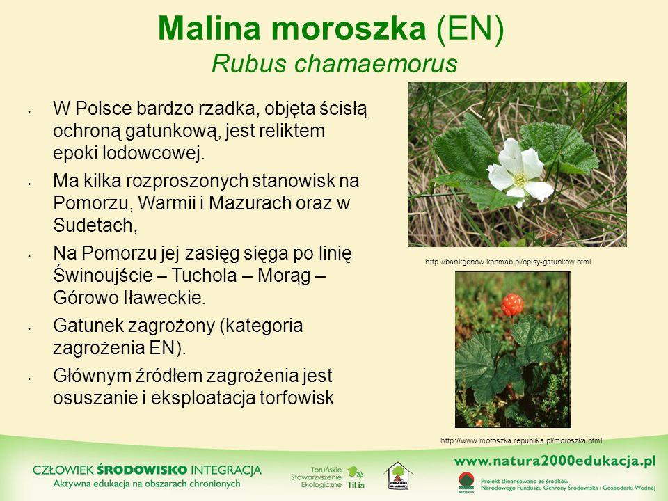 Malina moroszka (EN) Rubus chamaemorus