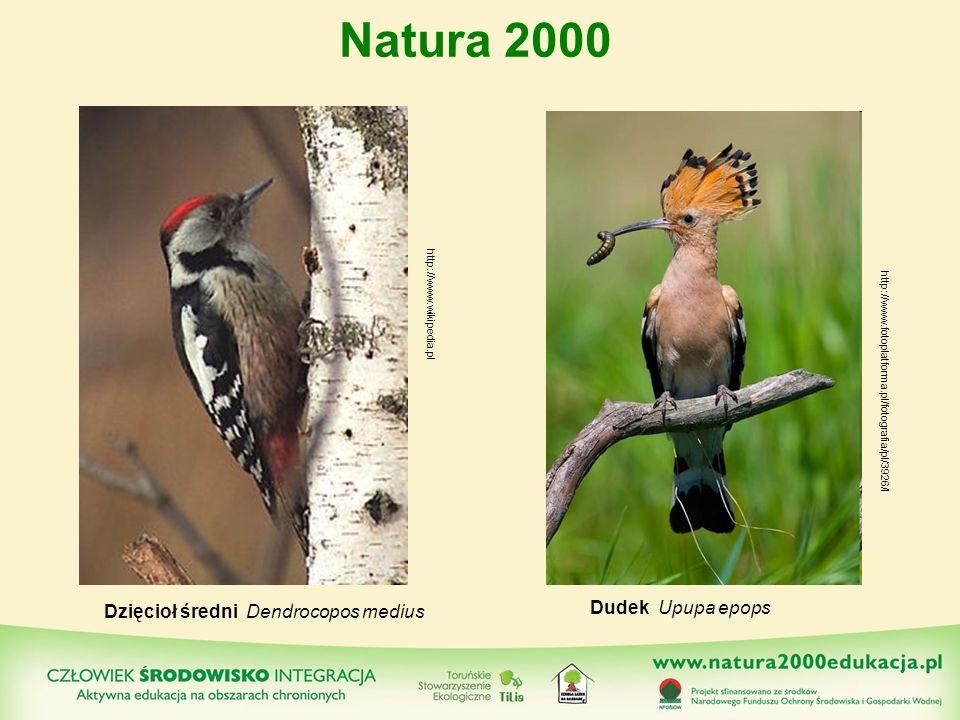 Natura 2000 Dudek Upupa epops Dzięcioł średni Dendrocopos medius