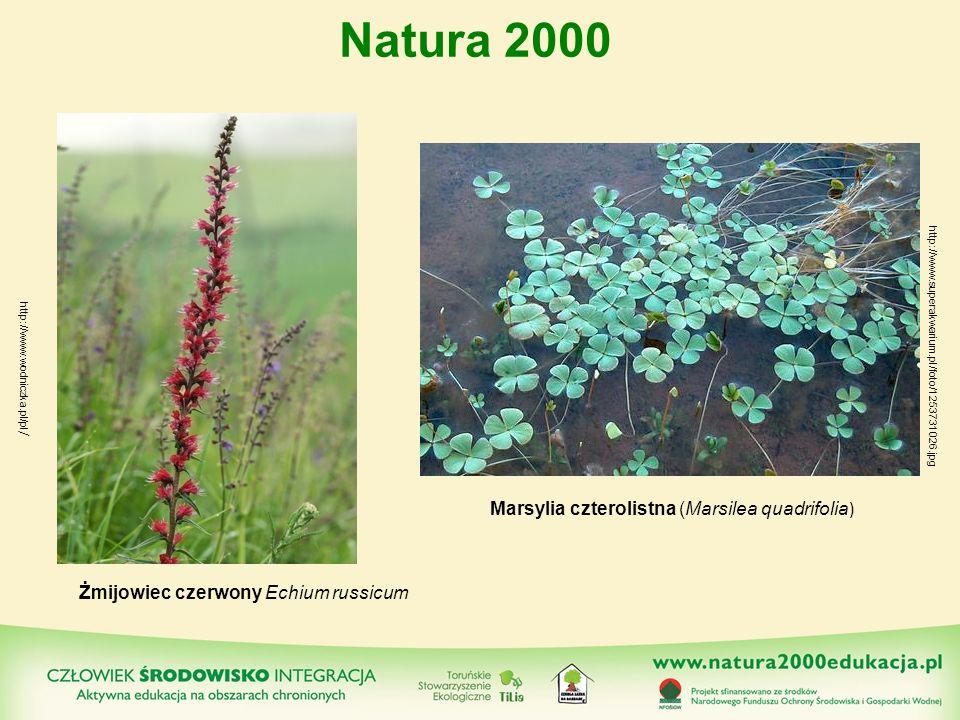 Żmijowiec czerwony Echium russicum