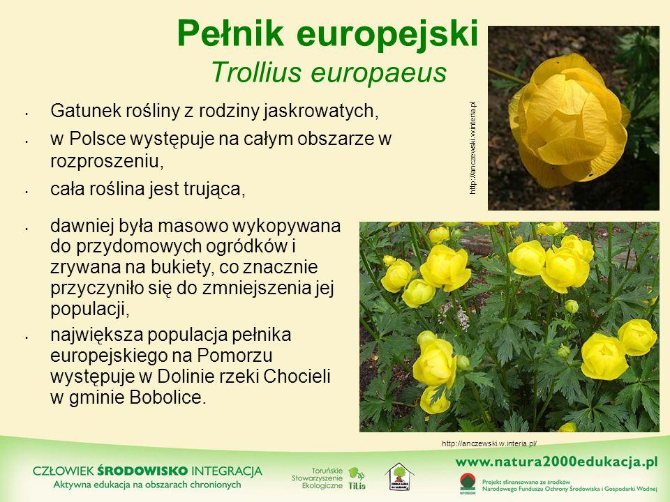 Pełnik europejski Trollius europaeus
