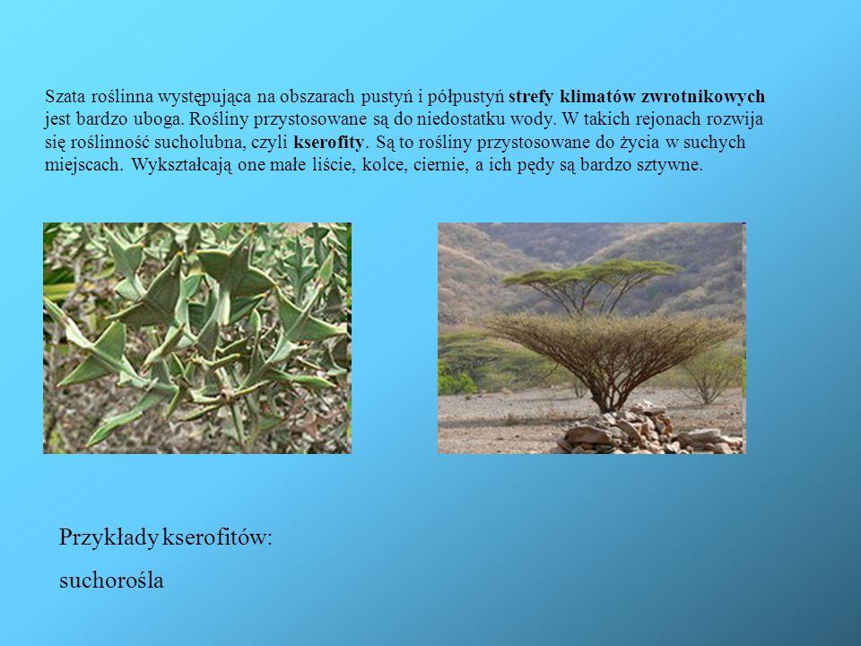 Przykłady kserofitów: suchorośla