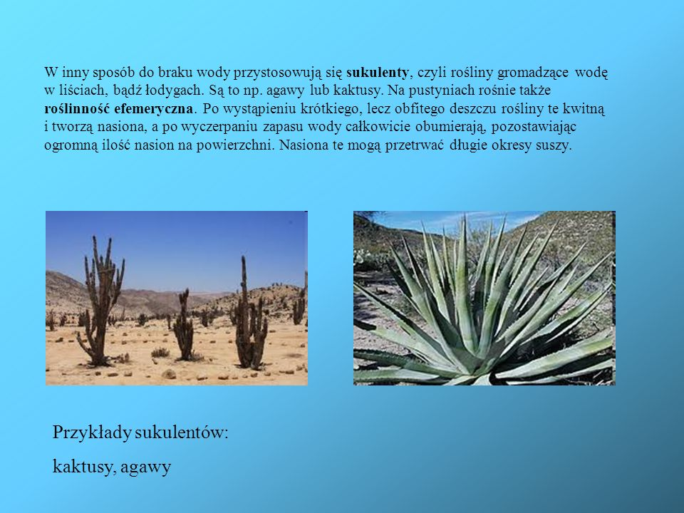 Przykłady sukulentów: kaktusy, agawy