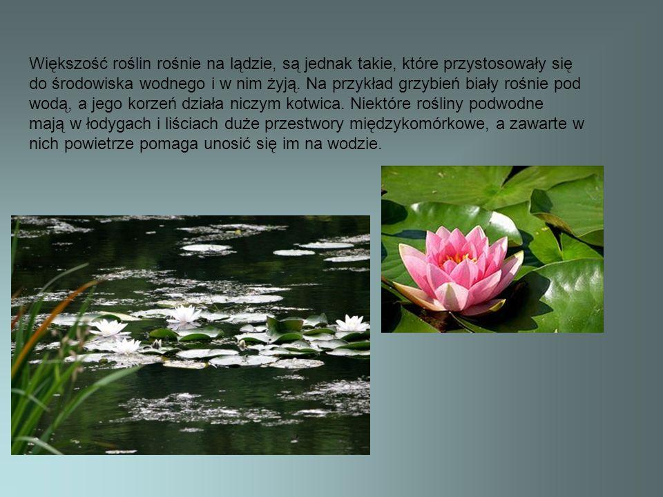 Większość roślin rośnie na lądzie, są jednak takie, które przystosowały się do środowiska wodnego i w nim żyją.