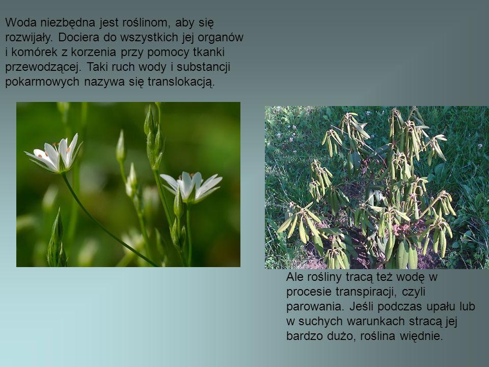Woda niezbędna jest roślinom, aby się rozwijały