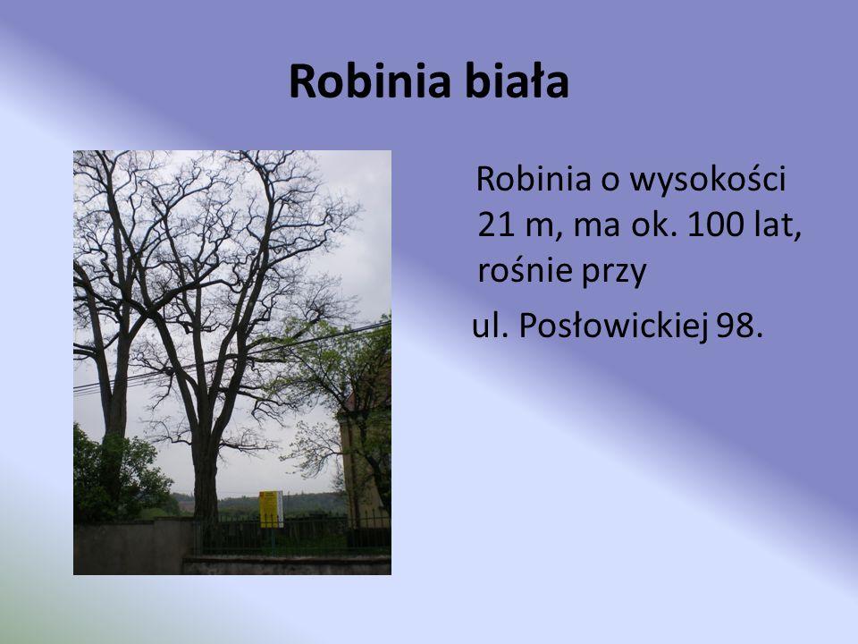 Robinia biała ul. Posłowickiej 98.