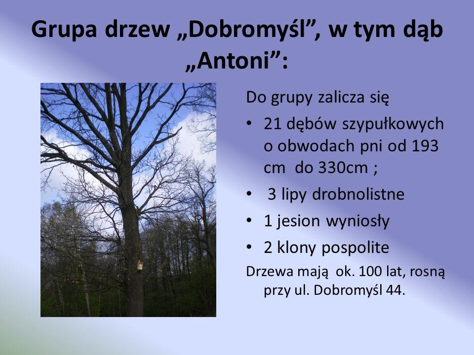 """Grupa drzew """"Dobromyśl , w tym dąb """"Antoni :"""