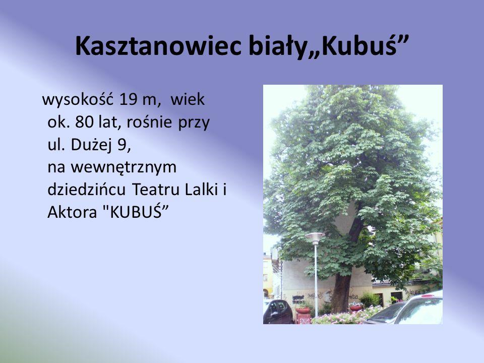 """Kasztanowiec biały""""Kubuś"""