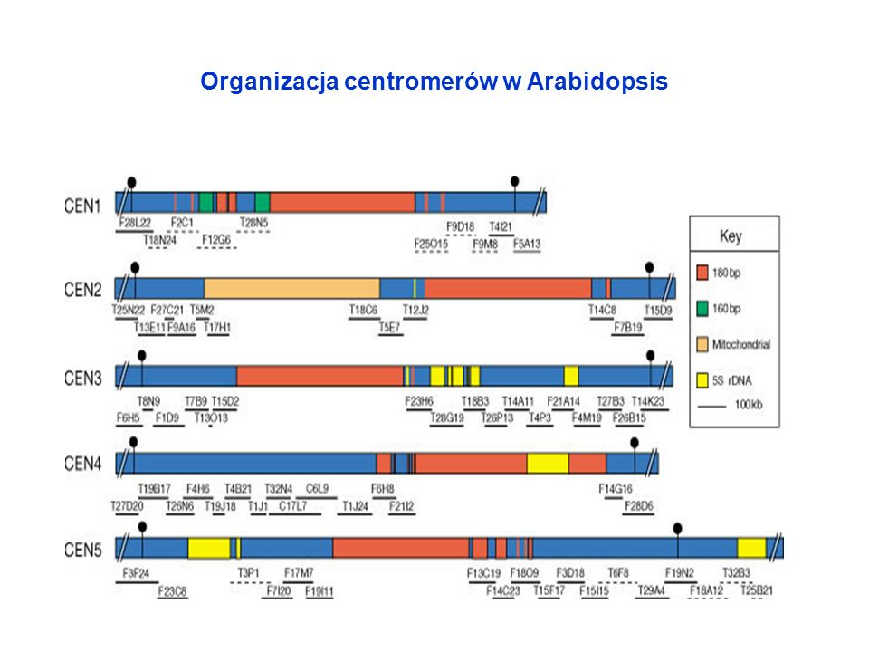 Organizacja centromerów w Arabidopsis