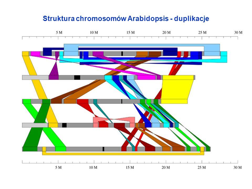 Struktura chromosomów Arabidopsis - duplikacje