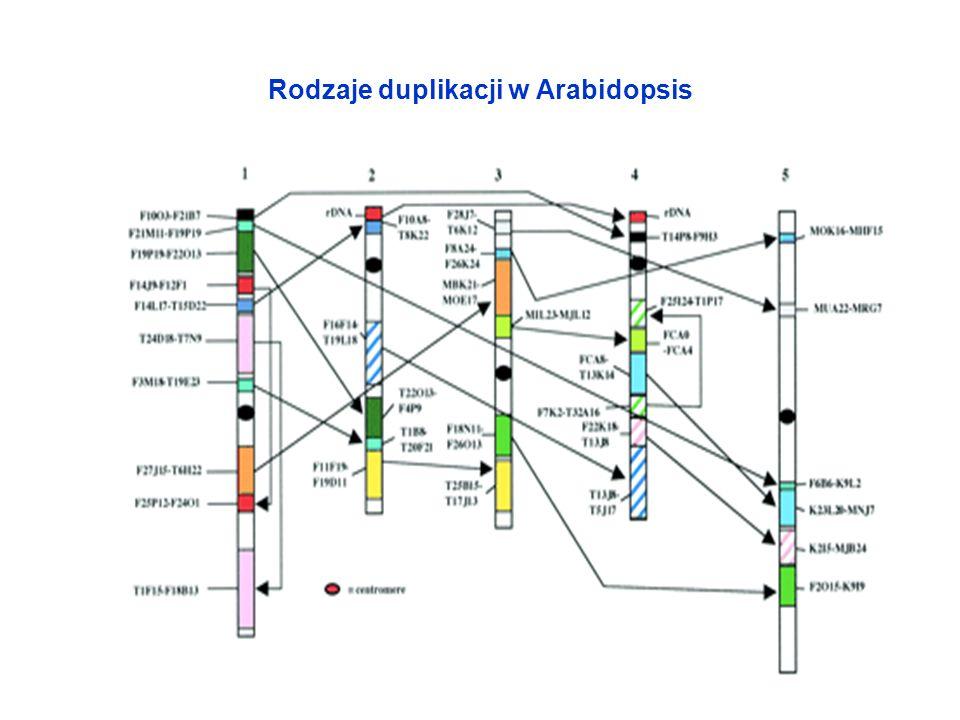 Rodzaje duplikacji w Arabidopsis