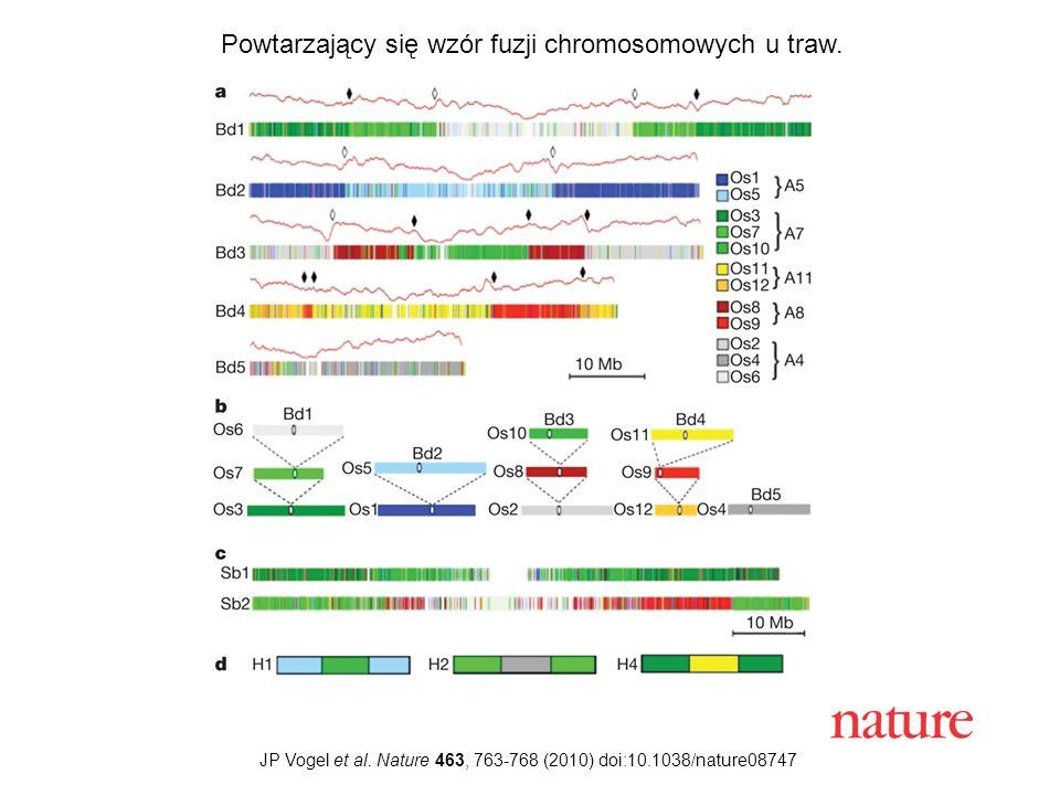 Powtarzający się wzór fuzji chromosomowych u traw.
