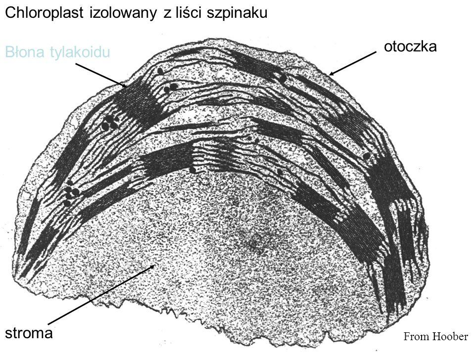 Chloroplast izolowany z liści szpinaku