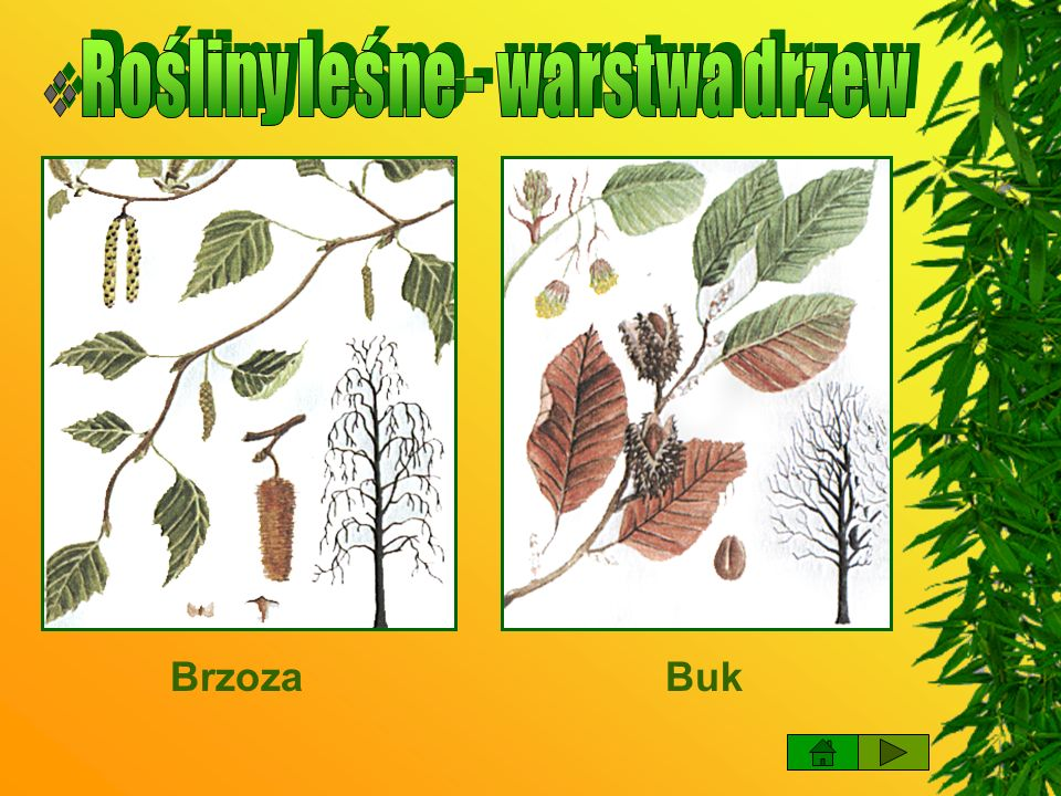 Rośliny leśne - warstwa drzew