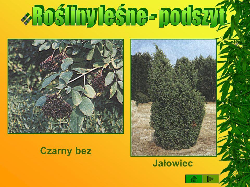 Rośliny leśne - podszyt