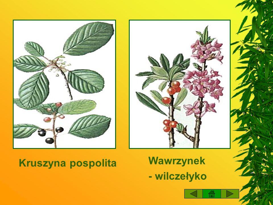 Wawrzynek - wilczełyko Kruszyna pospolita