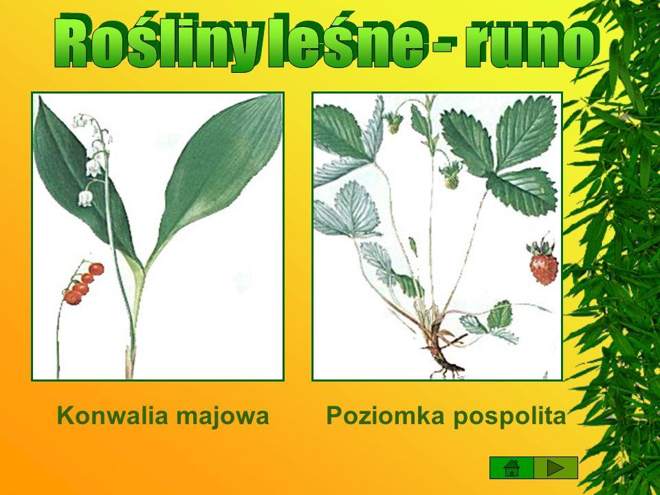 Rośliny leśne - runo Konwalia majowa Poziomka pospolita