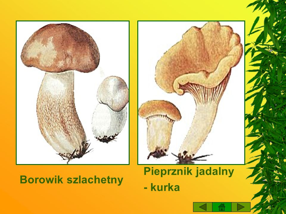 Pieprznik jadalny - kurka Borowik szlachetny