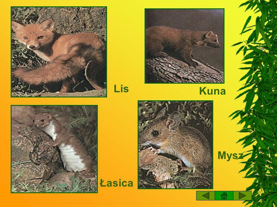 Lis Kuna Mysz Łasica