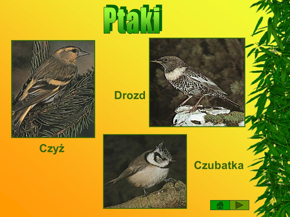 Ptaki Drozd Czyż Czubatka