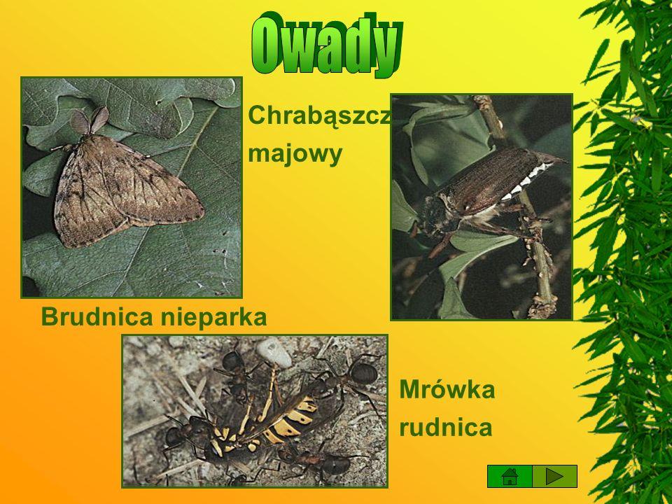 Owady Chrabąszcz majowy Brudnica nieparka Mrówka rudnica