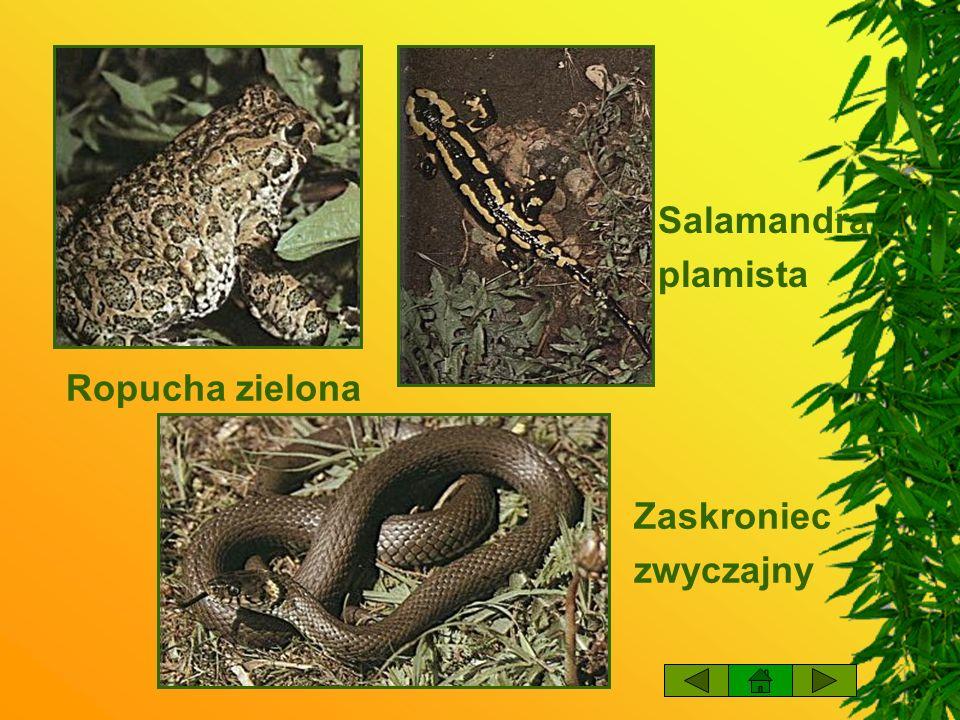 Salamandra plamista Ropucha zielona Zaskroniec zwyczajny