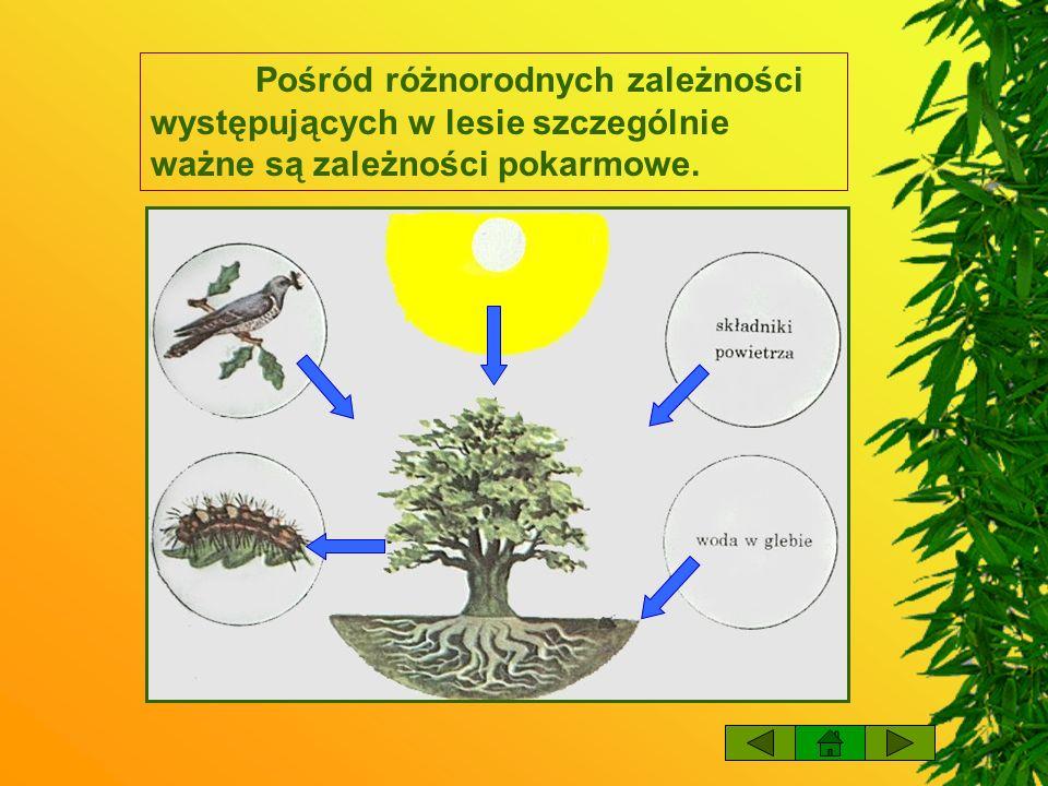 Pośród różnorodnych zależności występujących w lesie szczególnie ważne są zależności pokarmowe.