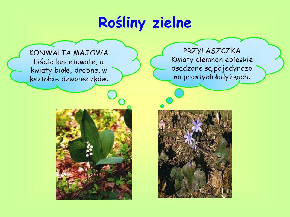 Rośliny zielne PRZYLASZCZKA KONWALIA MAJOWA