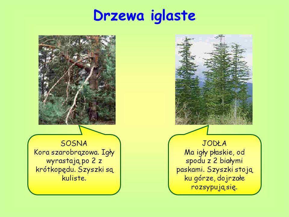 Drzewa iglaste SOSNA. Kora szarobrązowa. Igły wyrastają po 2 z krótkopędu. Szyszki są kuliste. JODŁA.