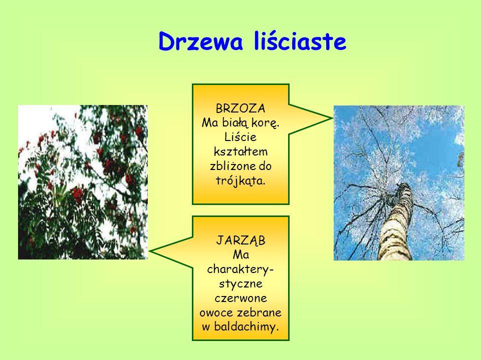 Drzewa liściaste BRZOZA