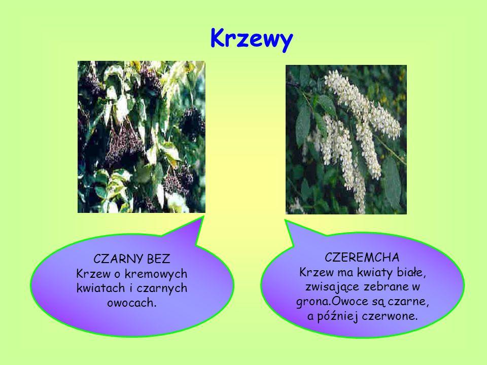 Krzew o kremowych kwiatach i czarnych owocach.