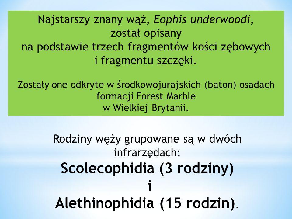 Scolecophidia (3 rodziny)