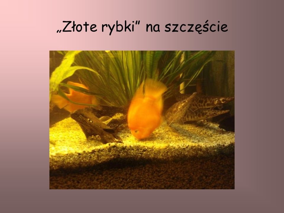 """""""Złote rybki na szczęście"""