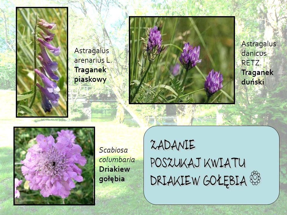 Astragalus danicus RETZ. Traganek duński