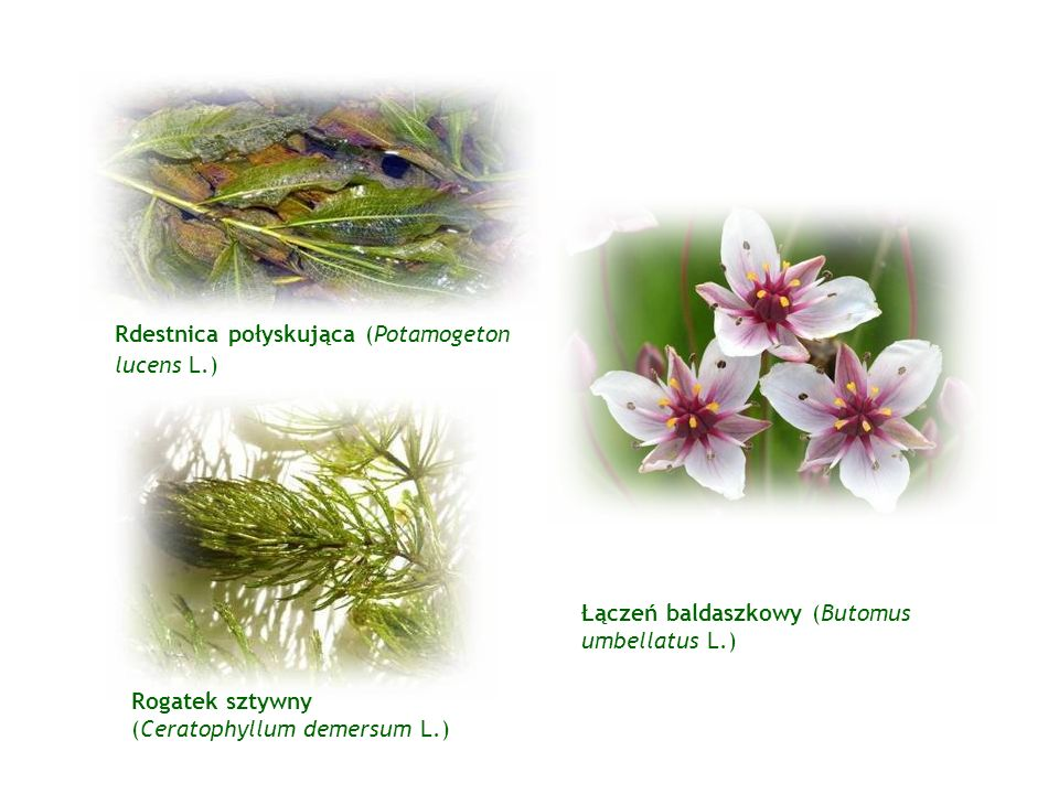 Rdestnica połyskująca (Potamogeton lucens L.)