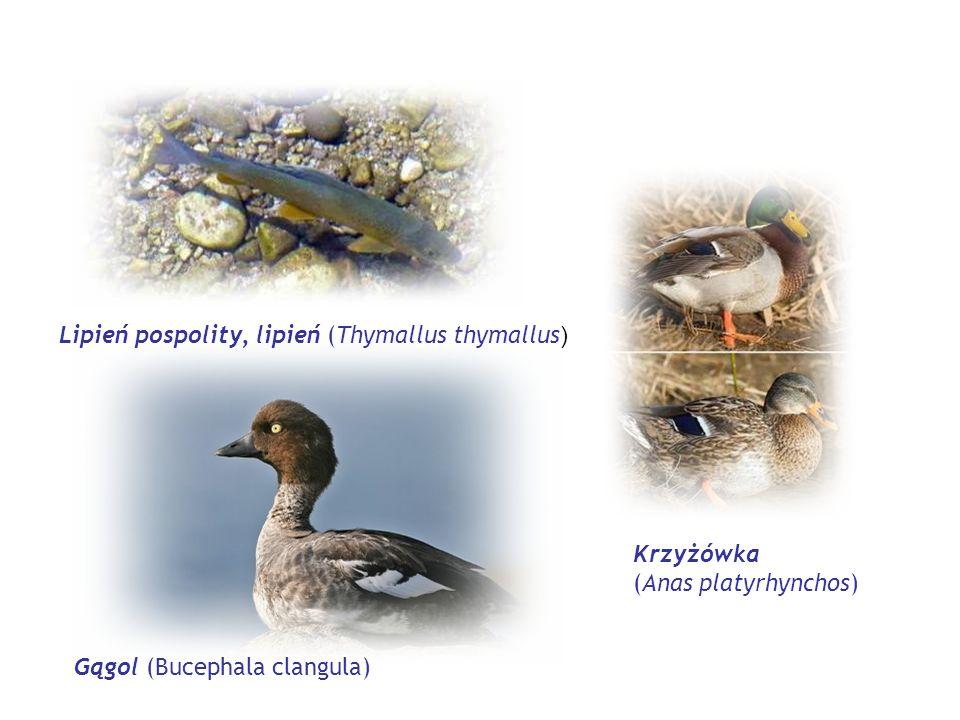 Lipień pospolity, lipień (Thymallus thymallus)