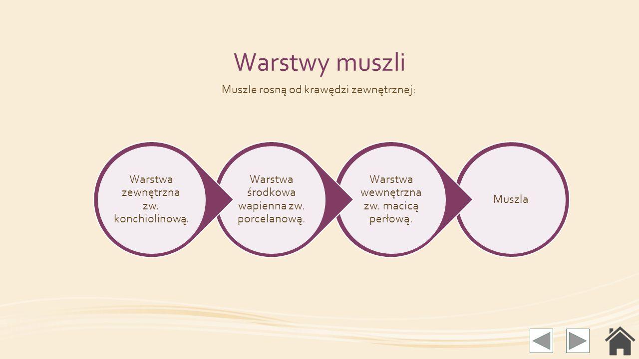 Warstwy muszli Muszle rosną od krawędzi zewnętrznej: