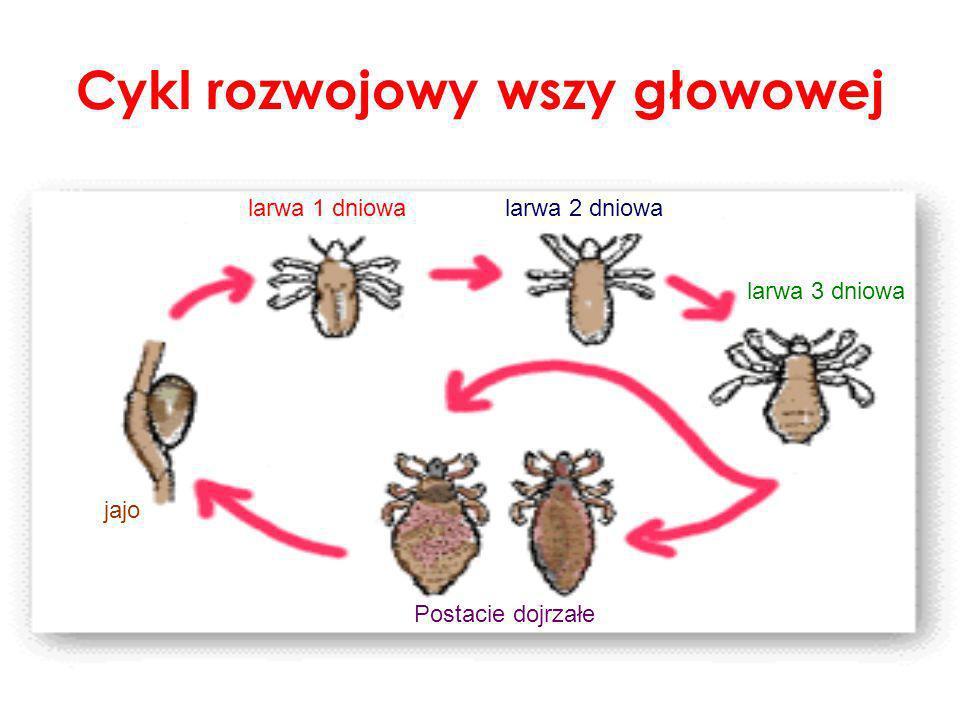 Cykl rozwojowy wszy głowowej