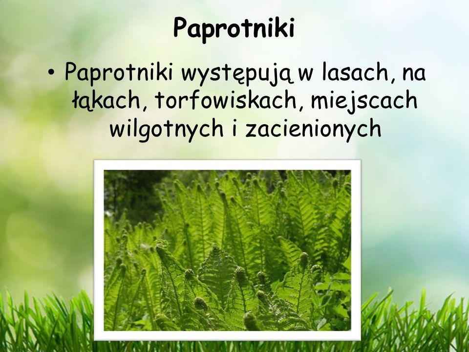Paprotniki Paprotniki występują w lasach, na łąkach, torfowiskach, miejscach wilgotnych i zacienionych.