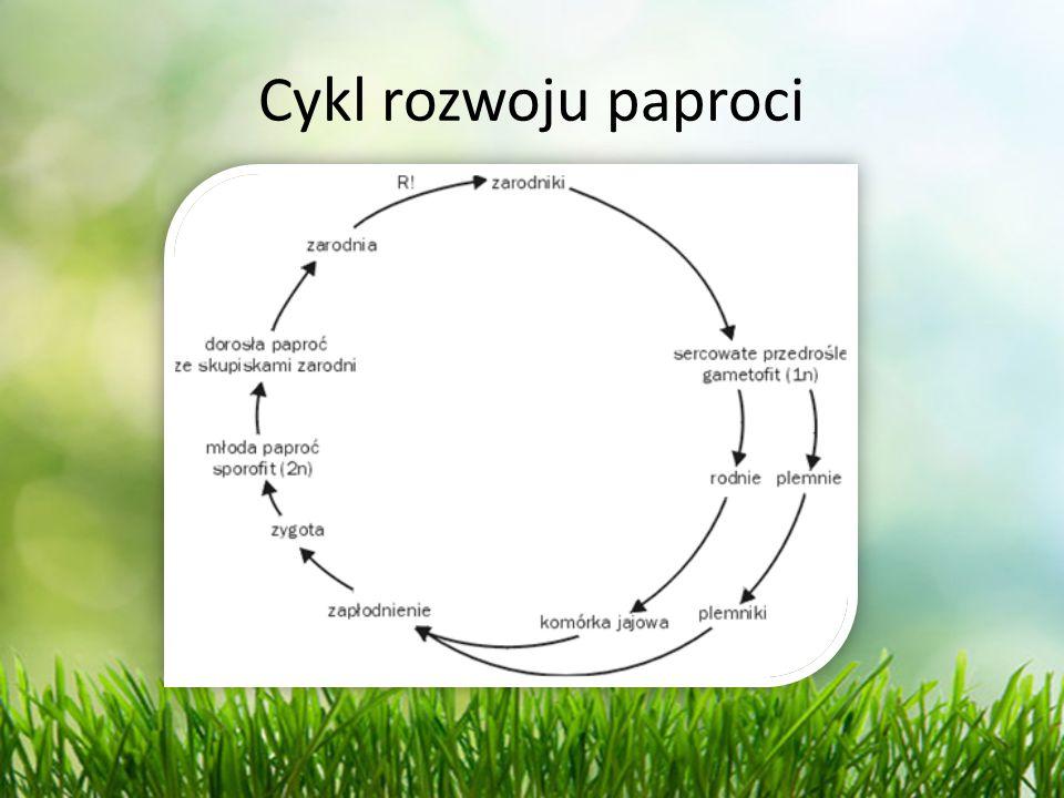 Cykl rozwoju paproci