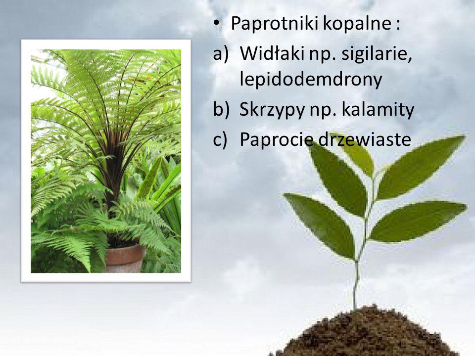 Paprotniki kopalne : Widłaki np. sigilarie, lepidodemdrony Skrzypy np. kalamity Paprocie drzewiaste