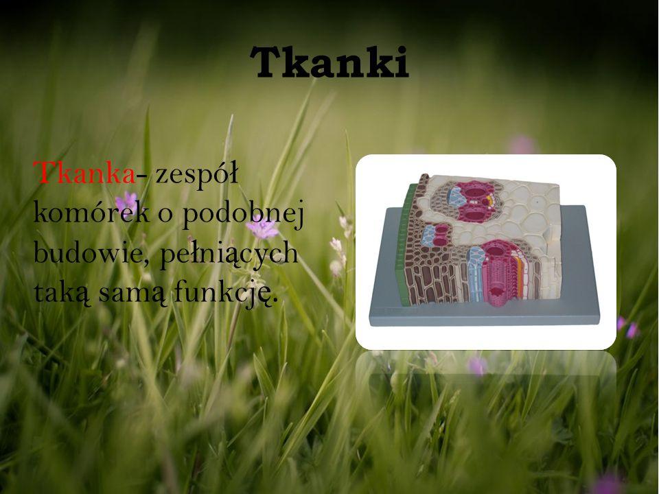Tkanki Tkanka- zespół komórek o podobnej budowie, pełniących taką samą funkcję.